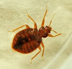 9 Bugs That Are Mistaken For Bed Bugs 2020 Bed Bug Look Alikes