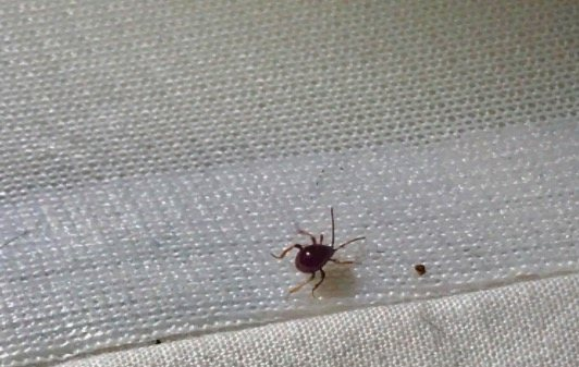 Does One Bed Bug Mean An Infestation Discovery Treatment With Pictures