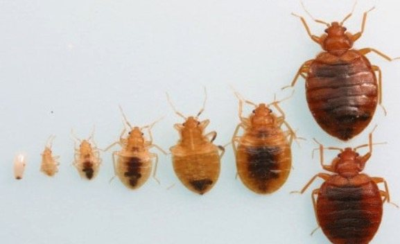 Can You See Bed Bugs With The Naked Eye 7 Ways To Look How To Detect