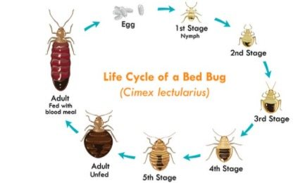 What Do Baby Bed Bugs Look Like Colors Size Bites 7 Ways To Kill