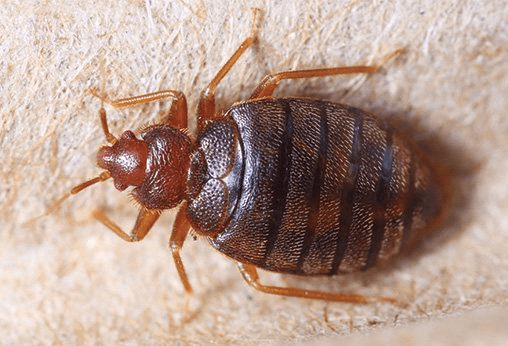 Bed Bugs Are Reddish-brown in Color