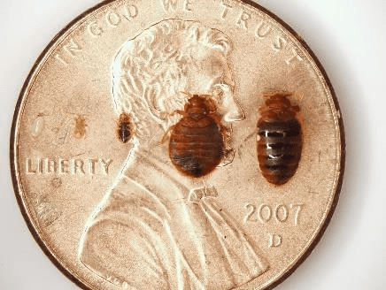 Bed Bugs Are Only ¼ of an Inch Long