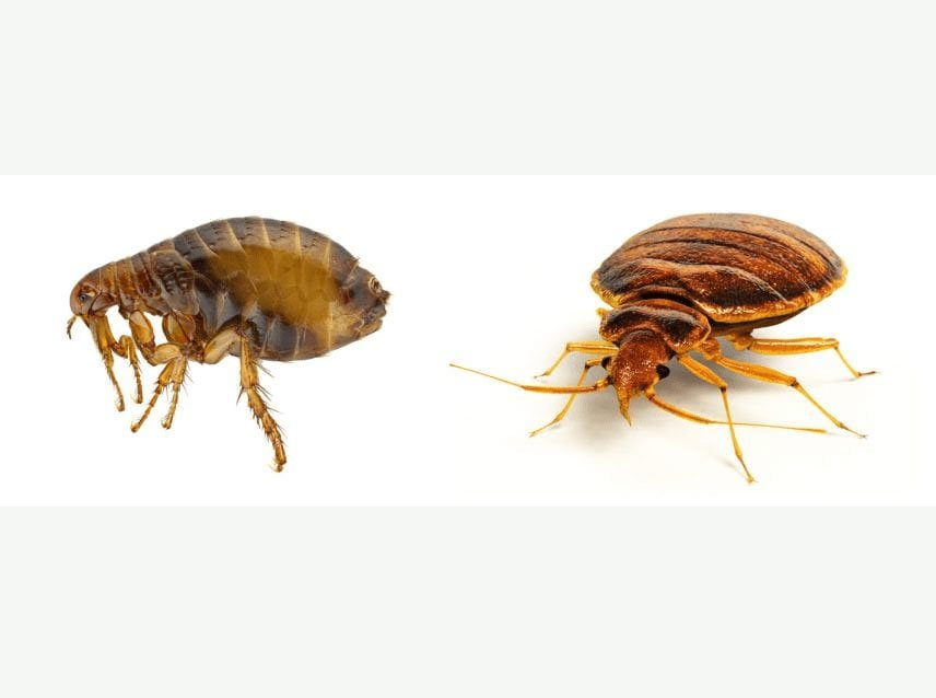 Bed Bugs (Left), Fleas (Right)