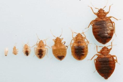 Bed Bug eggs to adulthood